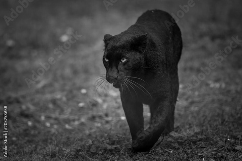 Photo Stands Panther Black Panther Animal