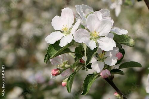 Plakat Jabłonie w kwiacie, jabłonie w kwiacie