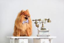 Pomeranian Puppy Is Sitting Near An Old Telephone.
