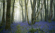 Forest Of Bluebells On A Misty...