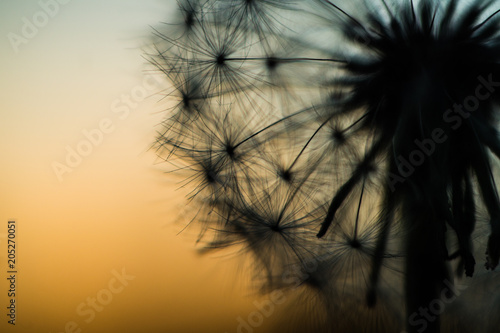 Wall Murals Spring Silhouette of dandelion close-up at sunset at dusk
