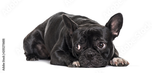 Deurstickers Franse bulldog French Bulldog , 1.5 years old, lying against white background