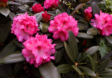 Closeup Blooming Rhododendron ...