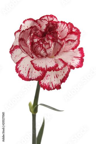 Foto op Plexiglas Magnolia White and red carnation flower on white.
