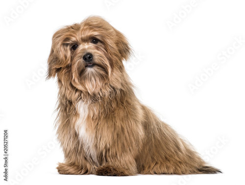 Havanese dog , 8 months old, sitting against white background Wall mural