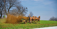Amish Farmer Fertilizing The F...
