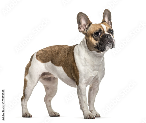 Deurstickers Franse bulldog French Bulldog , 3 years old, standing against white background