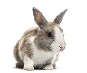 Rabbit , 4 months old, sitting against white background