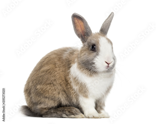 Rabbit , 4 months old, sitting against white background Fototapet