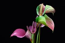 Multicolor Anthurium Flamingo Flower