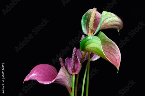 Photo Stands Iris Multicolor anthurium flamingo flower