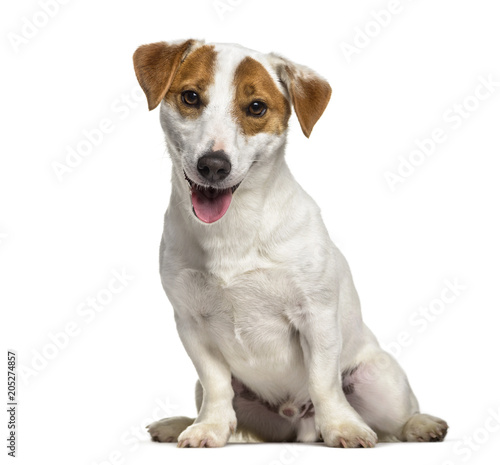 Jack Russell dog , 1 year old, sitting against white background