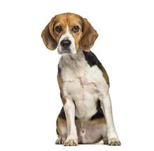 Beagle Dog , 2 Years Old, Sitt...