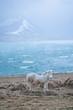 Icelandic horses , with a nice blue background, Iceland.