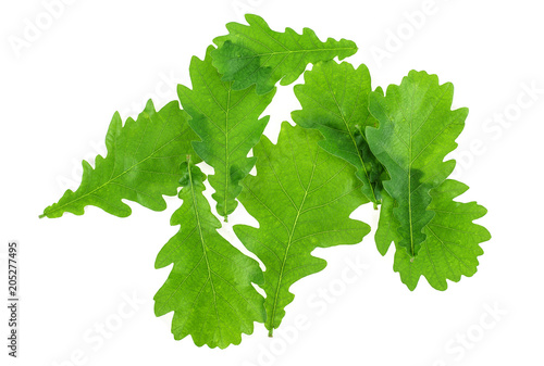 Green oak leaves on white background. Top view.