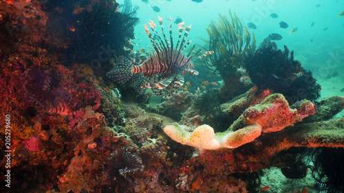 Lionfish on coral reef. Dive, underwater world, corals and tropical fish. Philippines, Mindoro. Diving and snorkeling in the tropical sea. Travel concept.