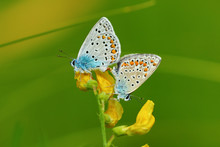 Pair Of Butterflies Amanda's Blue ( Polyommatus ( Agrodiaetus ) Amandus ) Mating On Yellow Wild Flower. Close-up Image Butterflies On Natural Green Background