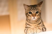 Beautiful Feline Cat At Home