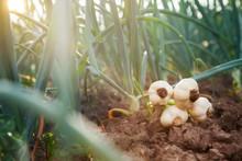 Young Garlic On Garden Ground