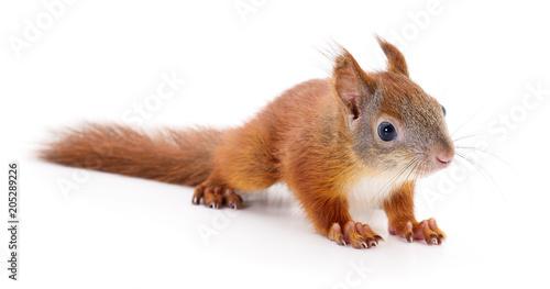 Zdjęcie XXL Eurazjatycka czerwona wiewiórka.