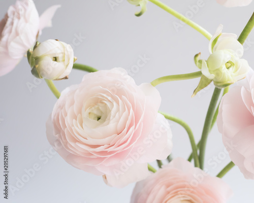 Ranunculus flowers over clear background