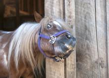 Mini Horse Smiling