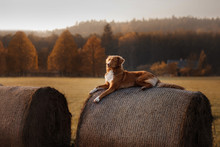 The Dog Lies On A Haystack. Pe...