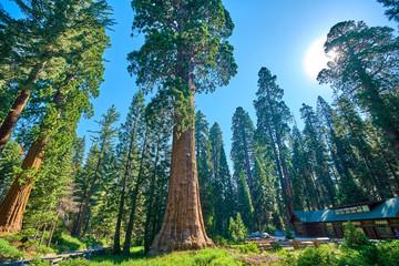 Divovska stabla sekveje u Nacionalnom parku Sequoia, Kalifornija, SAD, u blizini Muzeja i centra za posjetitelje