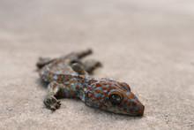 Gecko Carcass Dead The Animal Wildlife Skin Lizard Dry On The Floor, Closed Up The Eye