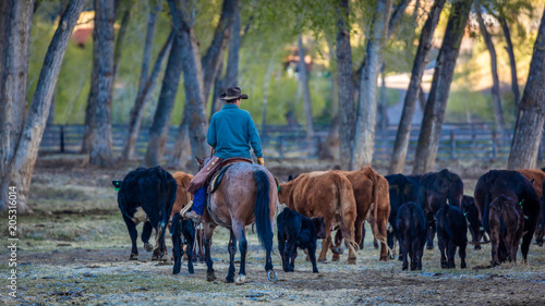 Fotografie, Tablou APRIL 22, 2017, RIDGWAY COLORADO: Cowboy herds cattle on Centennial Ranch, Ridgw