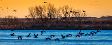 Grand Island, Nebraska -PLATTE RIVER, UNITED STATES Migratory Water Fowl And Sandhill Cranes Are On Their Spring Migration From Texas And Mexico, North To Canada, Alaska, And Siberia