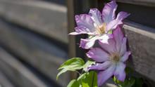 Blooms Clematis Blue Purple Flowers.