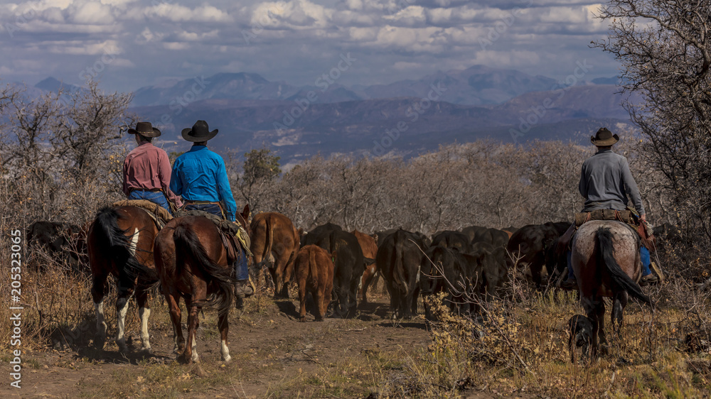 Fototapety, obrazy: Cowboys on Cattle Drive Gather Angus/Hereford cross cows and calves, San Juan Mountains, Colorado