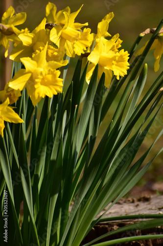 Deurstickers Narcis 背の高い水仙