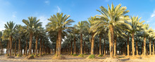 Plantation Of Date Palms. Image Depicts Advanced Tropical Agriculture In The Middle East