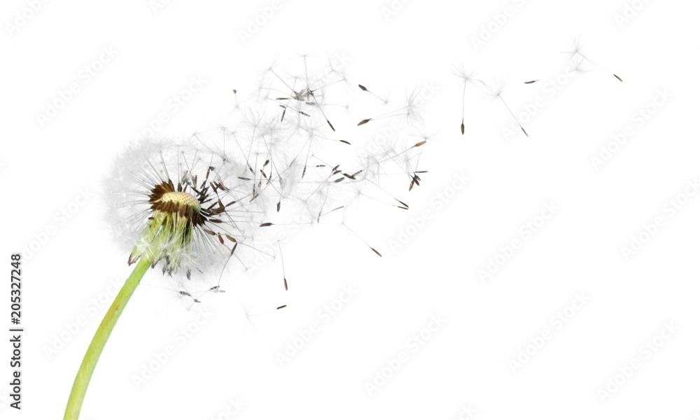 Fototapety, obrazy: Dandelion with blowing seeds