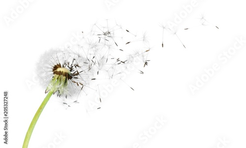 Papel de parede Dandelion with blowing seeds