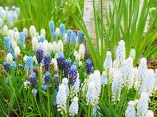 ムスカリの花畑
