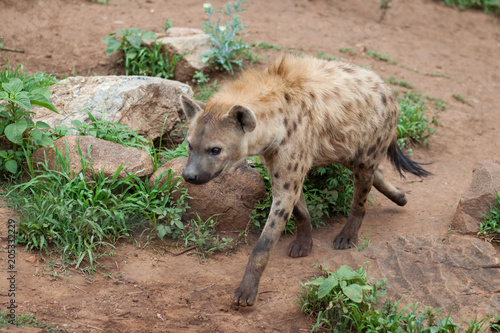 Staande foto Hyena Hyena goes to the frame in an African safari