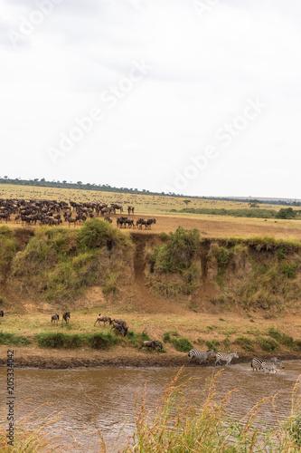 Fotobehang Wit Landscape on the Mara River with large herds of wildebeest. Kenya