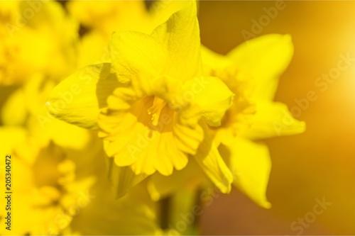 Staande foto Narcis Daffodil.