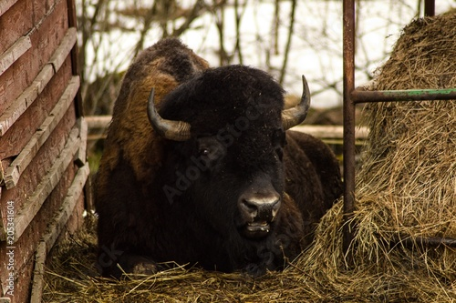 Foto op Canvas Bison The American bison or simply bison also commonly known as the American buffalo or simply buffalo