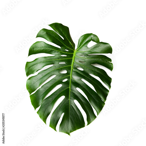 Obraz na plátně Dark green leaves of monstera  isolated on white background