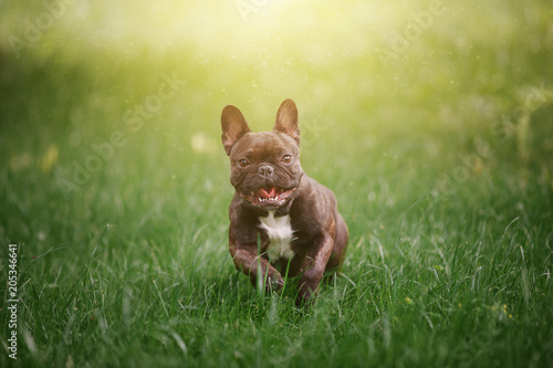 Poster Bouledogue français Lovely Cheerful French Bulldog runs along the green grass across the field in the rays of the bright sun. Dog on the background of nature