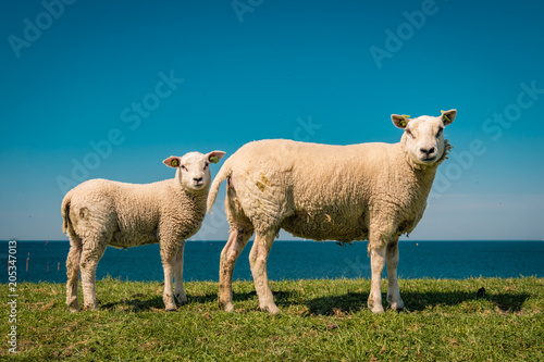 Tuinposter Schapen Lambs and Sheep on the dutch dike by the lake IJsselmeer,Spring views , Netherlands