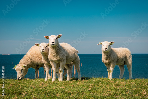 Fotobehang Schapen Lambs and Sheep on the dutch dike by the lake IJsselmeer,Spring views , Netherlands