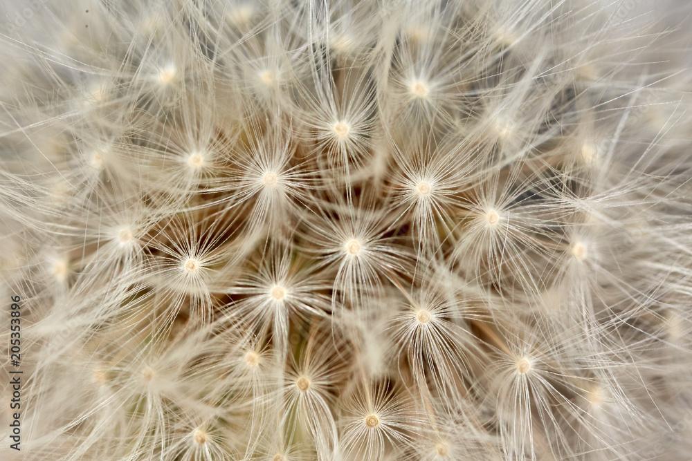 Fototapety, obrazy: Dandelion flower in closeup