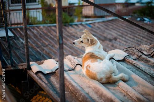 Photo  Dog relaxing on roof Bangkok