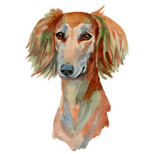 Saluki Dog, Persian Greyhound