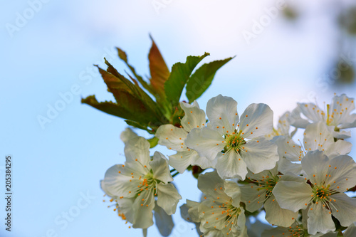 Tuinposter Olijfboom Spring blooming cherry flowers isolated .